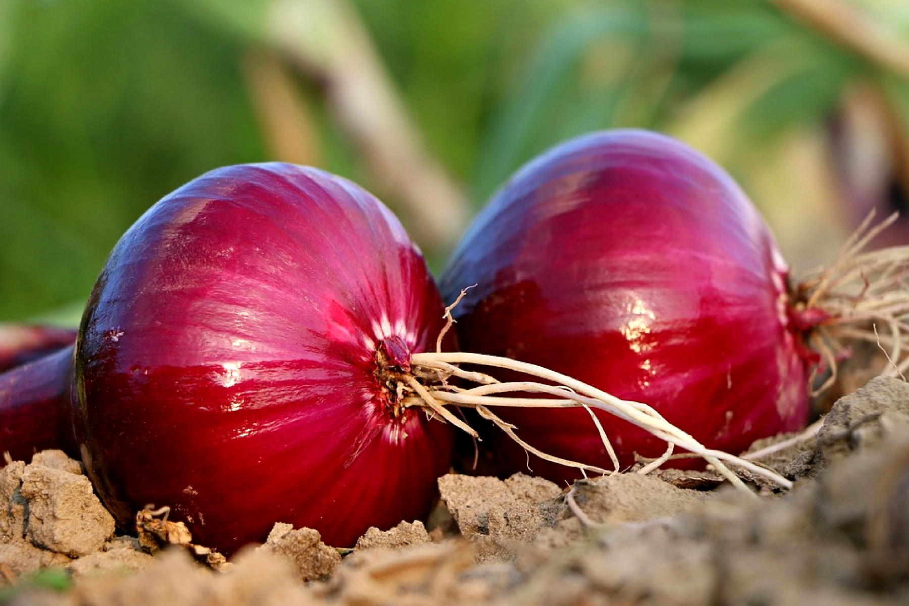11 REMARKABLE BENEFITS OF ONION (ALLIUM CEPA)