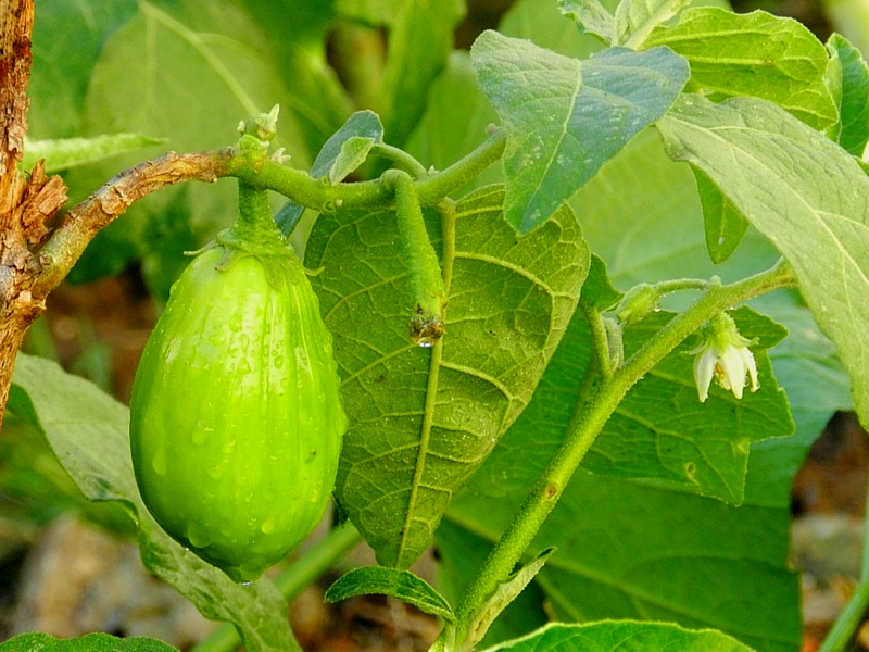 HERE\'S WHY SCARLET EGGPLANT IS GOOD FOR YOU