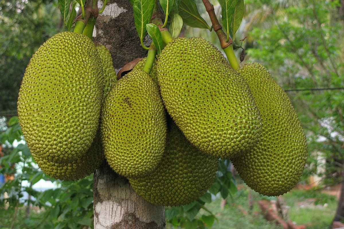 incredible benefits of jackfruit, Natural flower