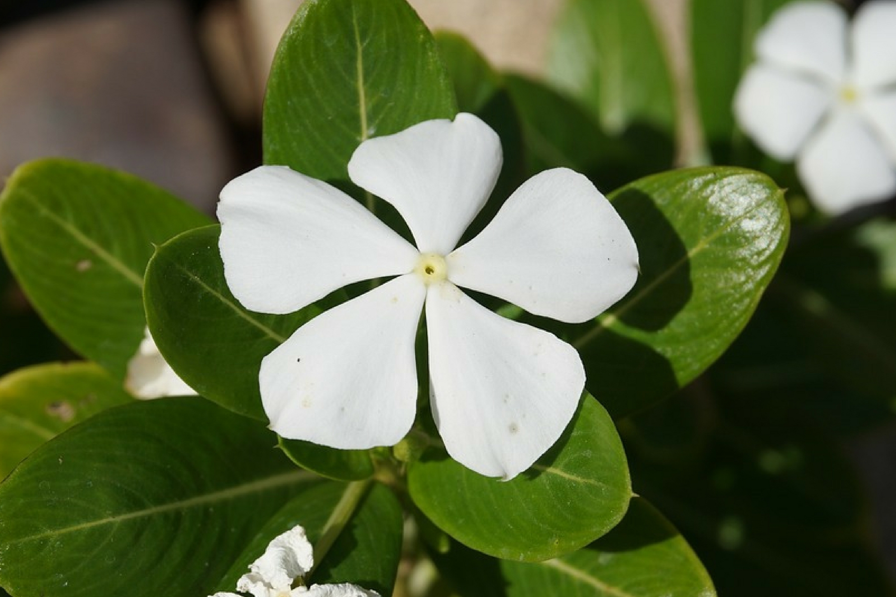 25 Exceptional Benefits Of Catharanthus Roseus