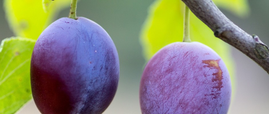 plum-fruit