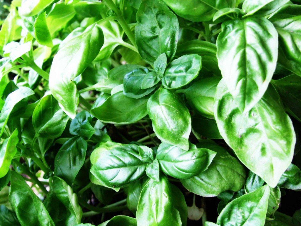 HEALTH BENEFITS OF BASIL (OCIMUM BASILICUM)
