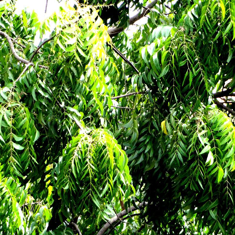 BENEFITS OF AZADIRACHTA INDICA (DOGONYARO OR NEEM)