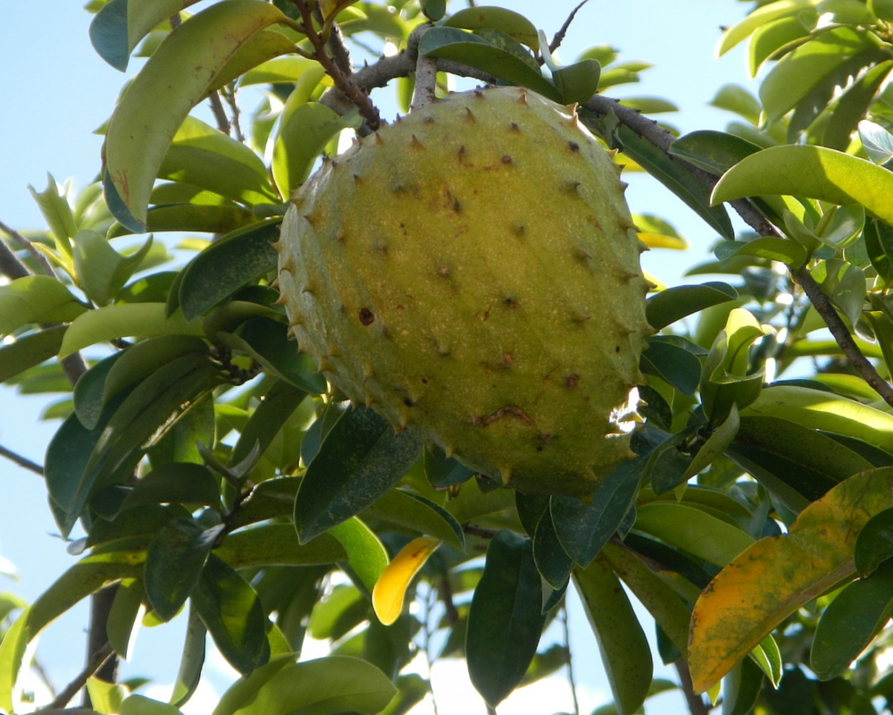 benefits of soursop graviola Guyabano