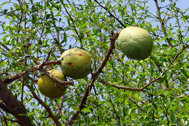 aegle-marmelos-golden-apple-bael