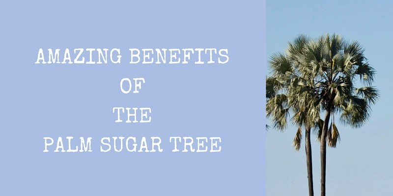 AMAZING BENEFITS OF THE PALM SUGAR TREE (1)