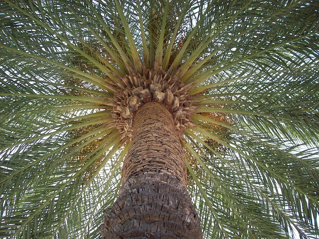 Image result for parts of a date palm tree