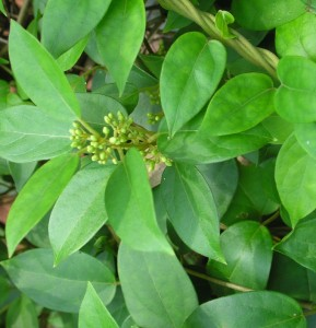 Gymhema Sylvestre Leaves