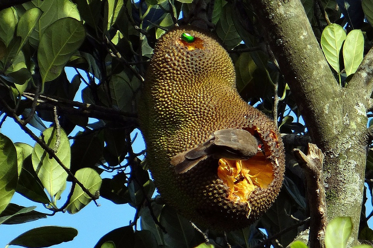 benefits of jackfruit