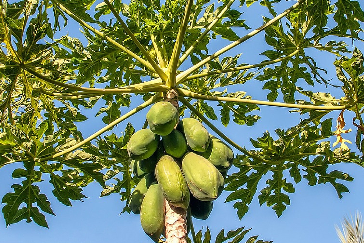 17 APPARENT REASONS YOU NEED PAPAYA (PAWPAW)