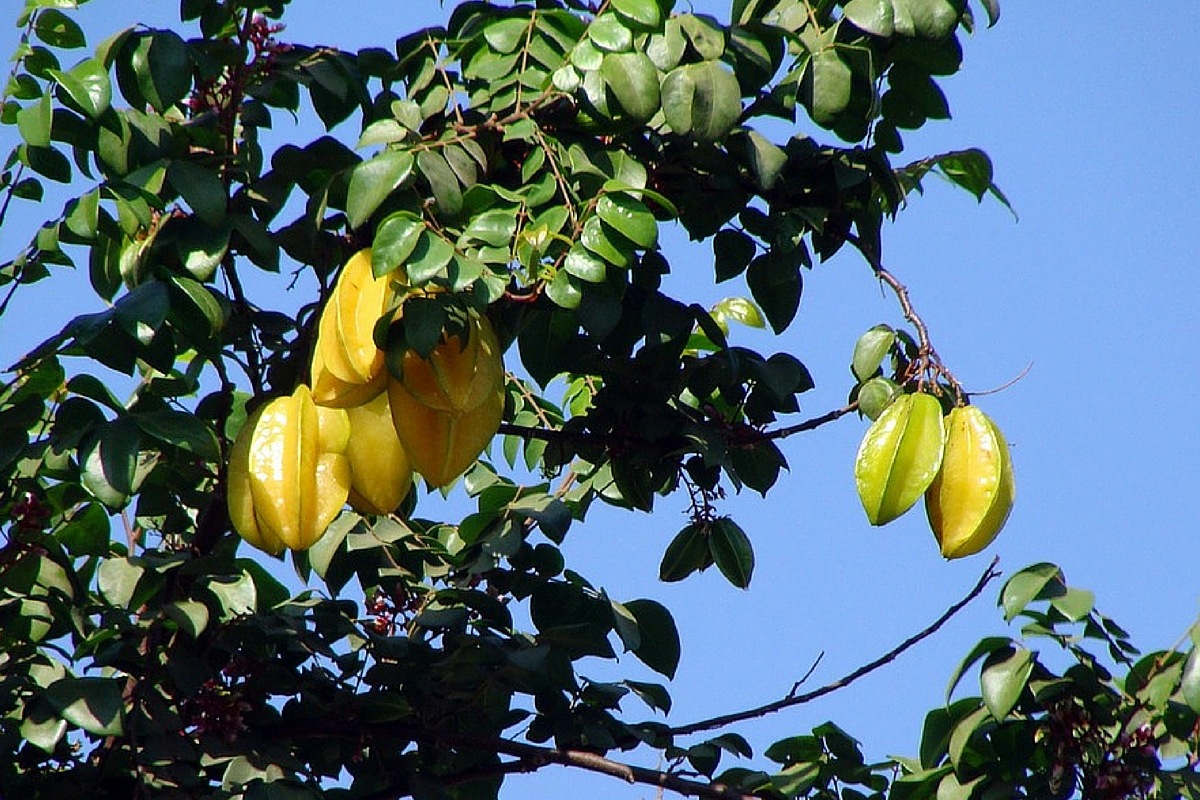 18 BRILLIANT REASONS YOU NEED CARAMBOLA (STARFRUIT)