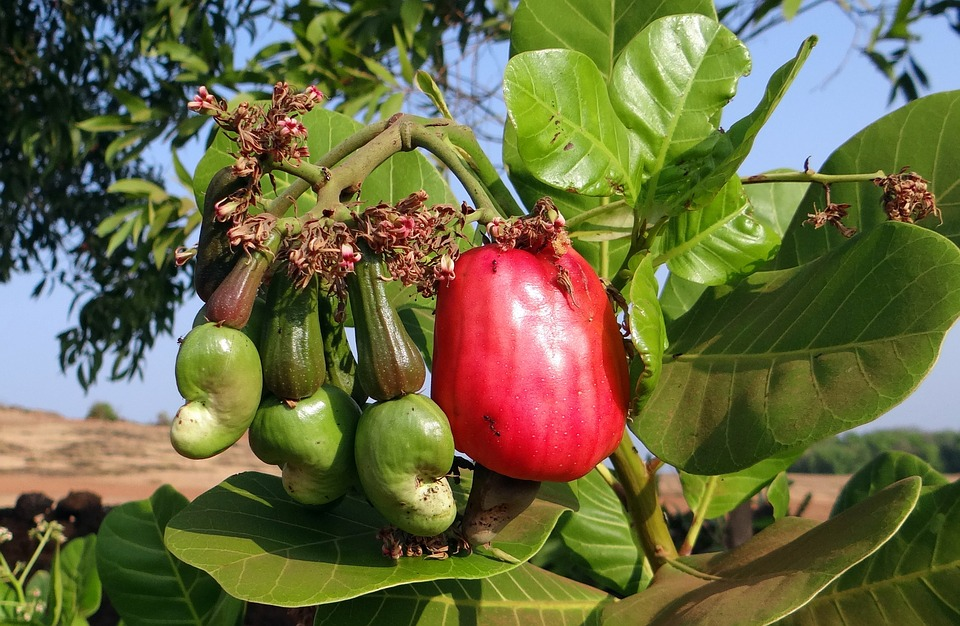 benefits of cashews anacardium occidentale