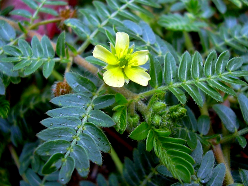 WHAT YOU STAND TO LOSE WITHOUT TRIBULUS TERRESTRIS