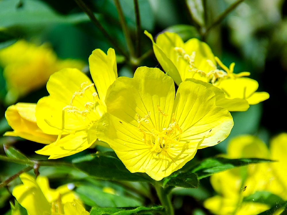 7 KEY THINGS YOU NEVER KNEW ABOUT EVENING PRIMROSE