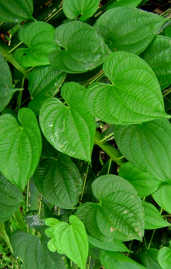 Dioscorea alata Leaves