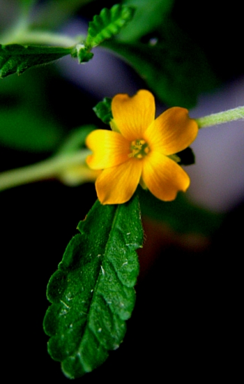 benefits of damiana aphrodisiac