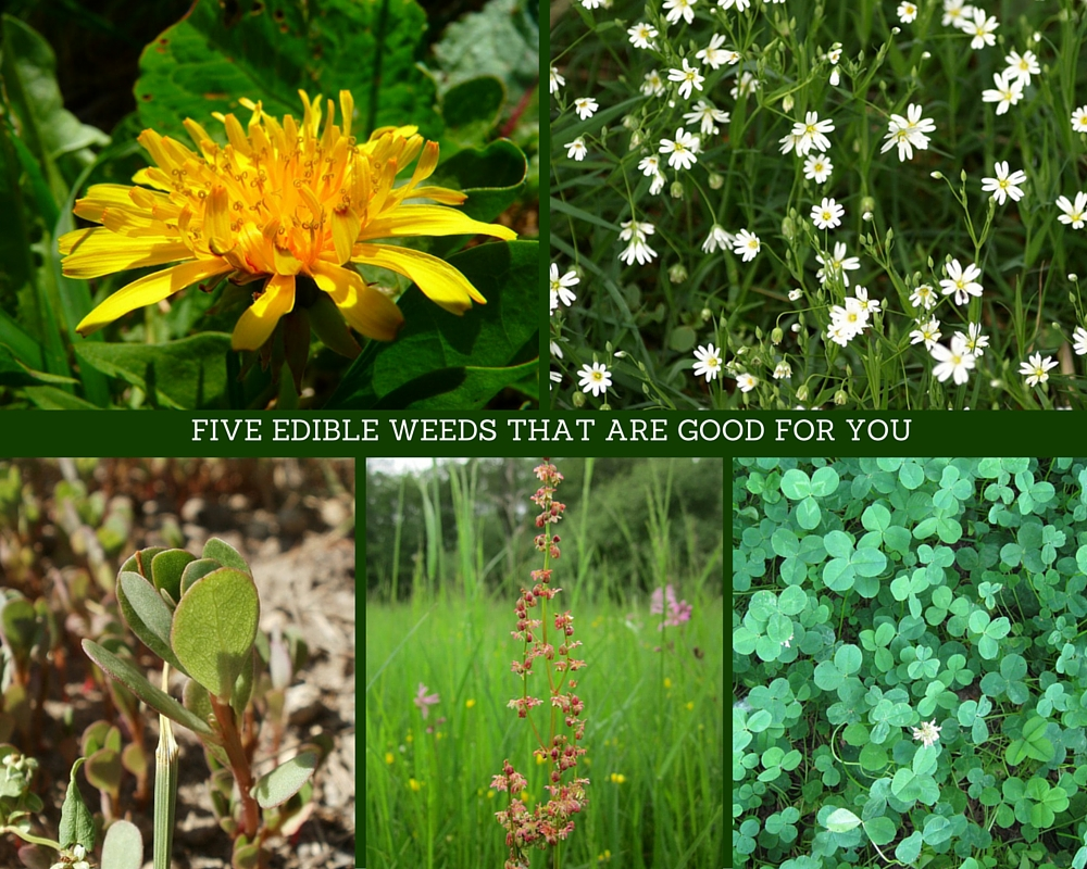 FIVE EDIBLE WEEDS THAT ARE GOOD FOR YOU