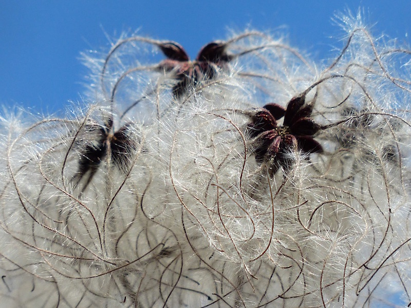 cotton seeds