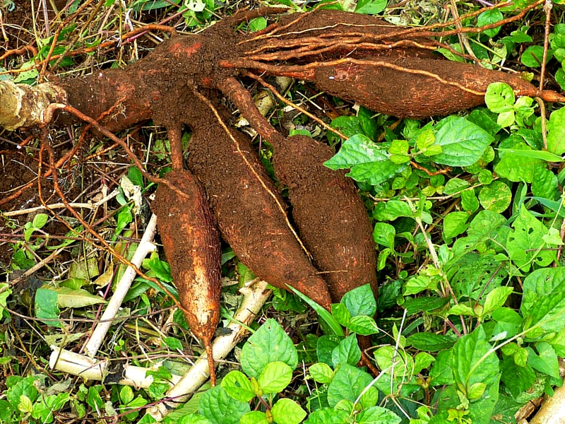 REMARKABLE BENEFITS OF CASSAVA