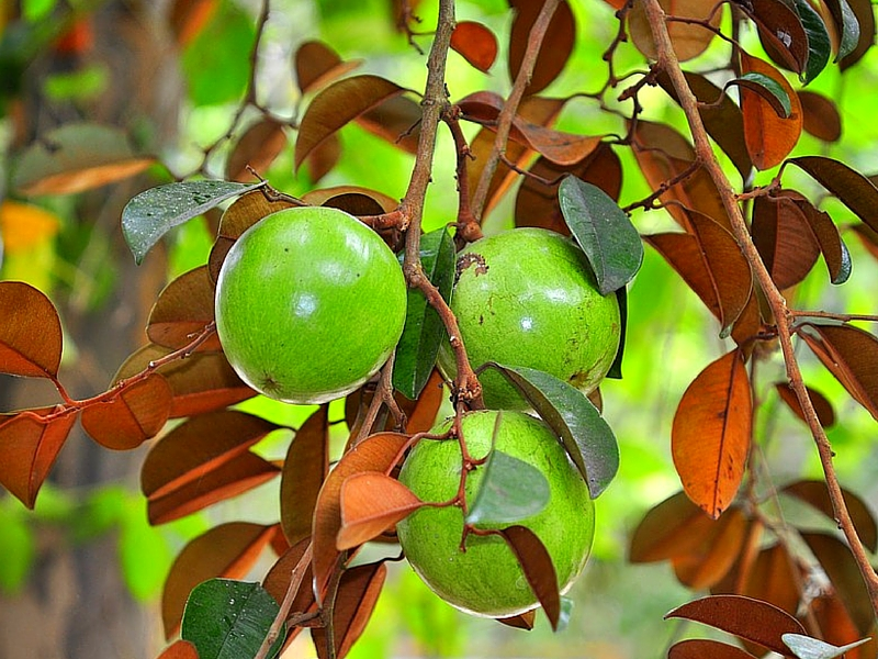 17 DISTINCTIVE BENEFITS OF CHRYSOPHYLLUM FRUITS