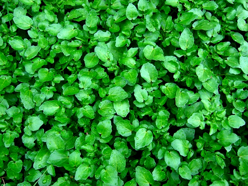 21 MAGNIFICENT BENEFITS OF WATERCRESS