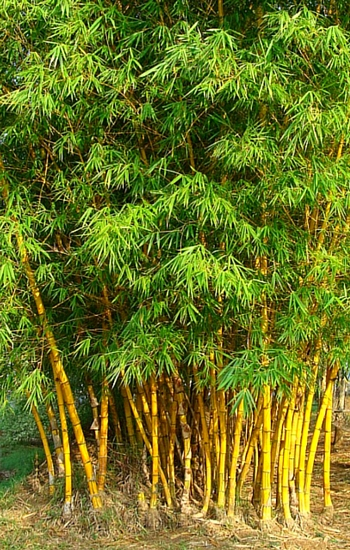 golden_bamboo