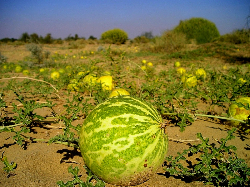 12 KEY BENEFITS OF EGUSI MELON CITRULLUS COLOCYNTHIS