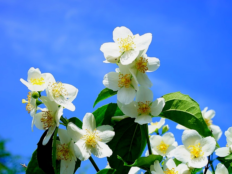 28 AWESOME BENEFITS OF JASMINE