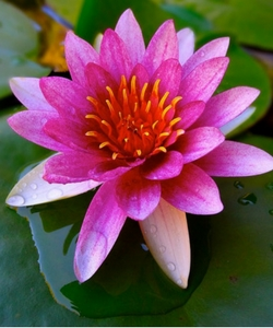 Padma or lotus (Nelumbo nucifera)