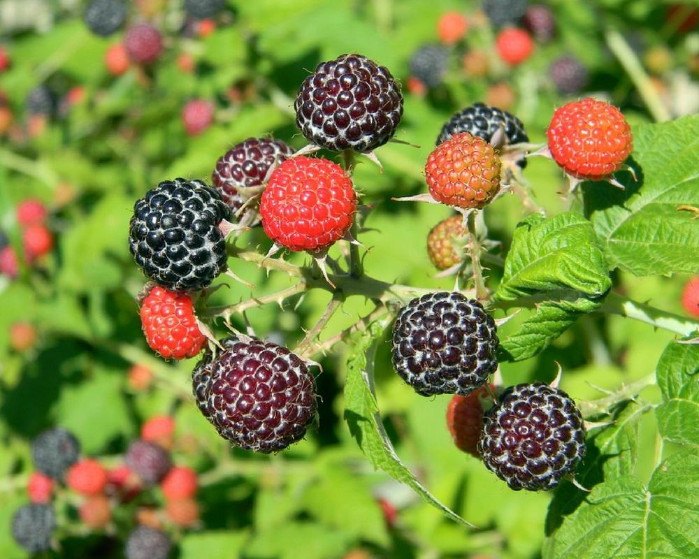 blackberry juice health benefits