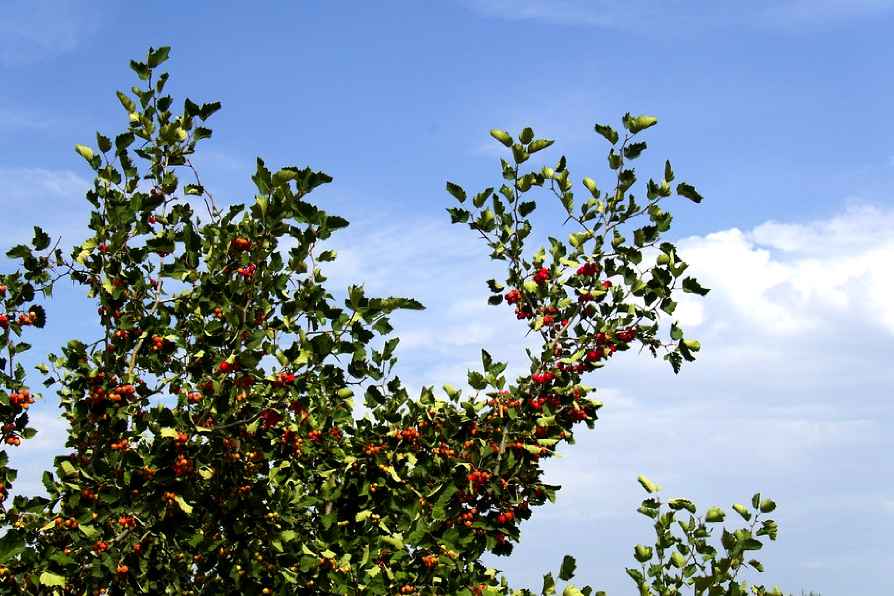 hawthorn-tree-fruit-leaves
