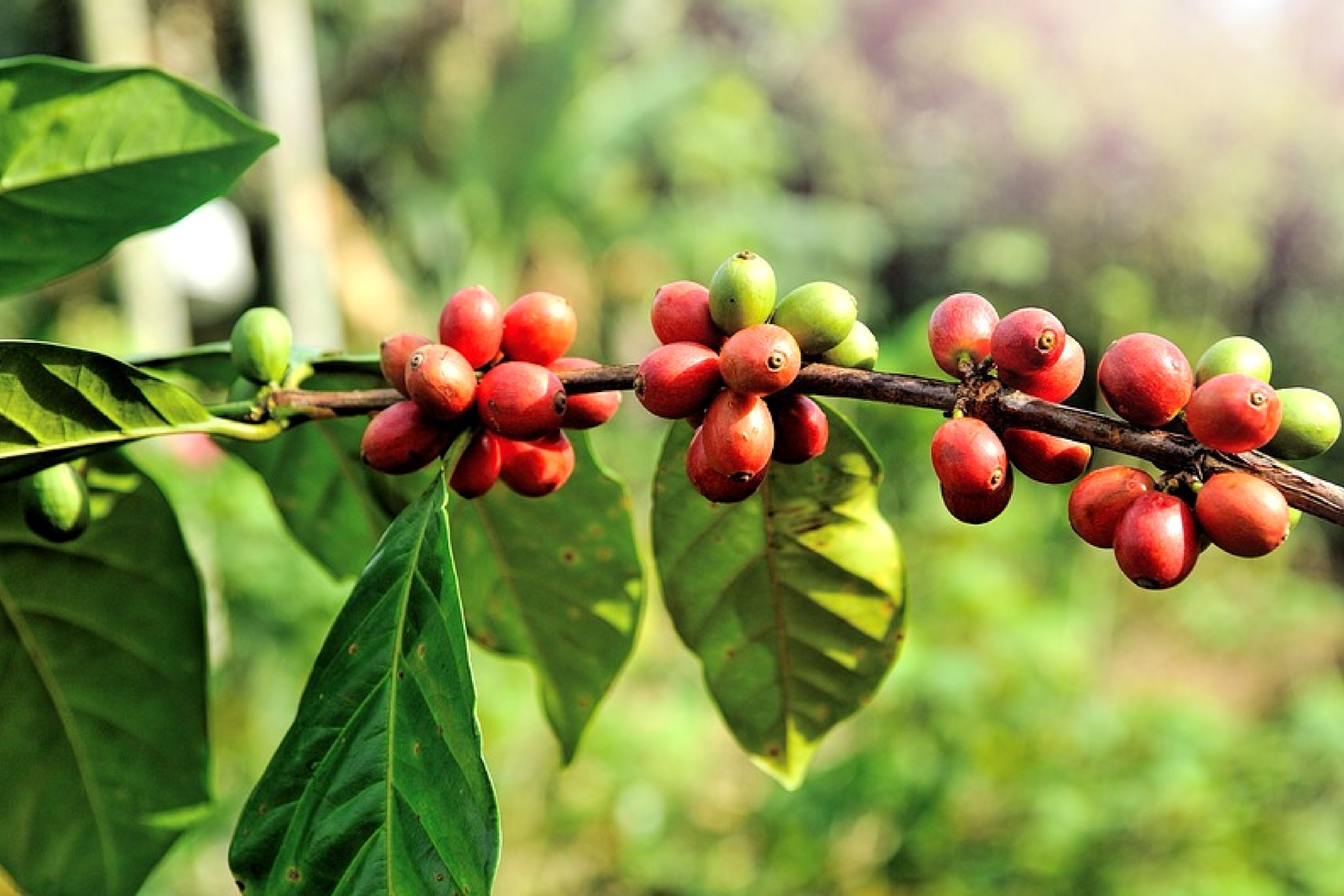 Green Coffee Beans Extract Weight Loss Benefits Uses And Side