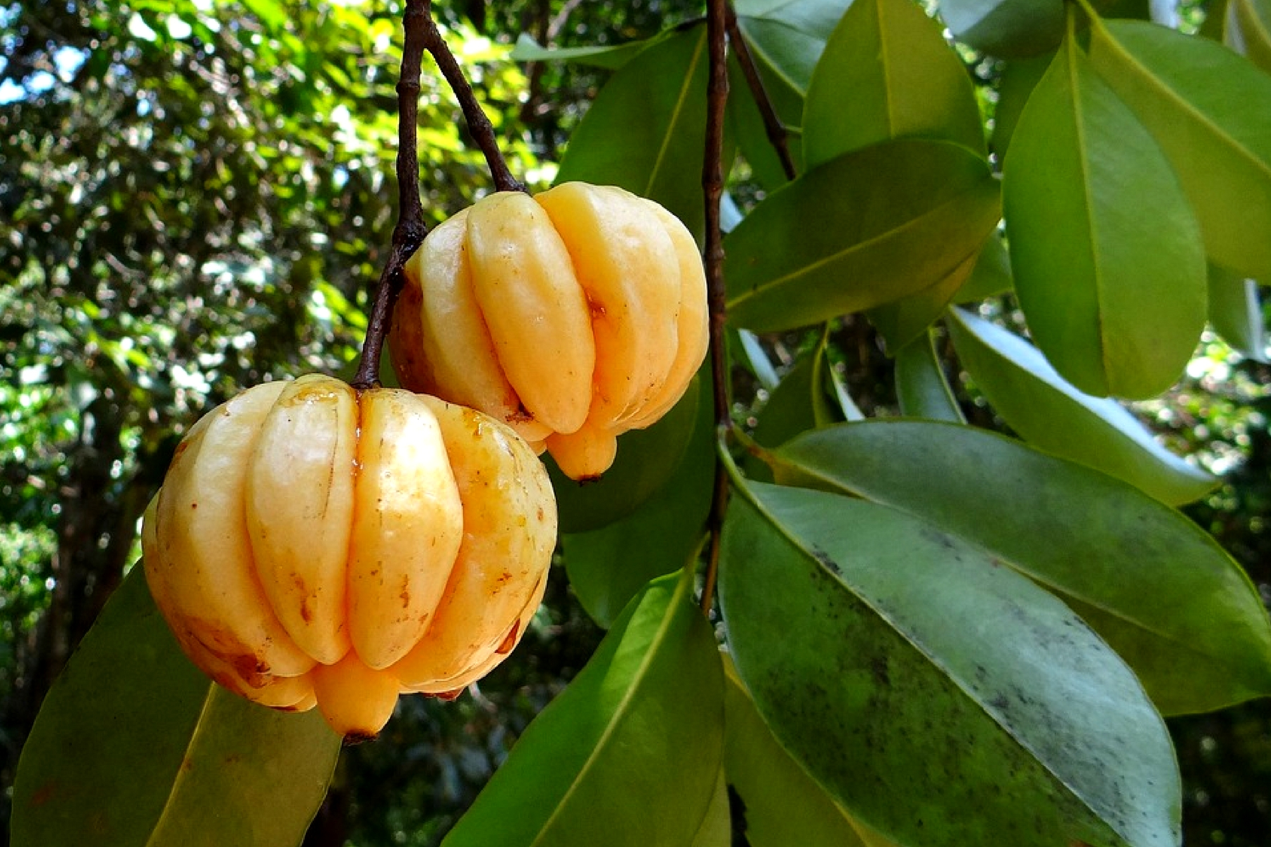 Nutritional Values, Benefits and Uses of Garcinia gummi-gutta