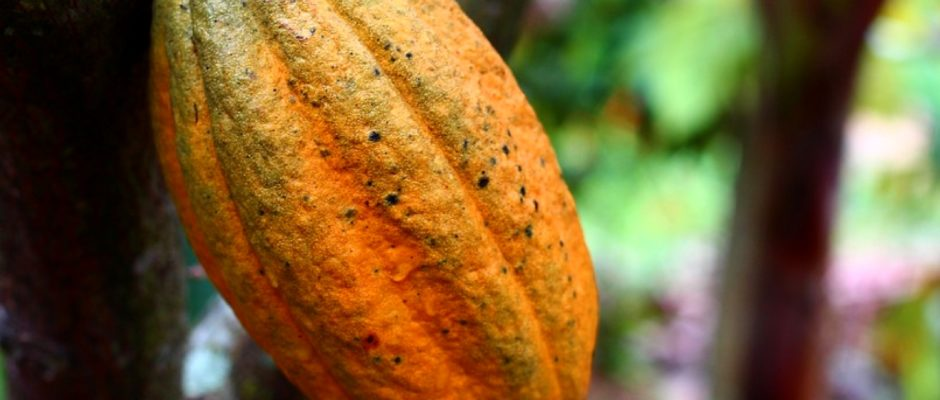here-are-some-exceptional-benefits-of-cocoa