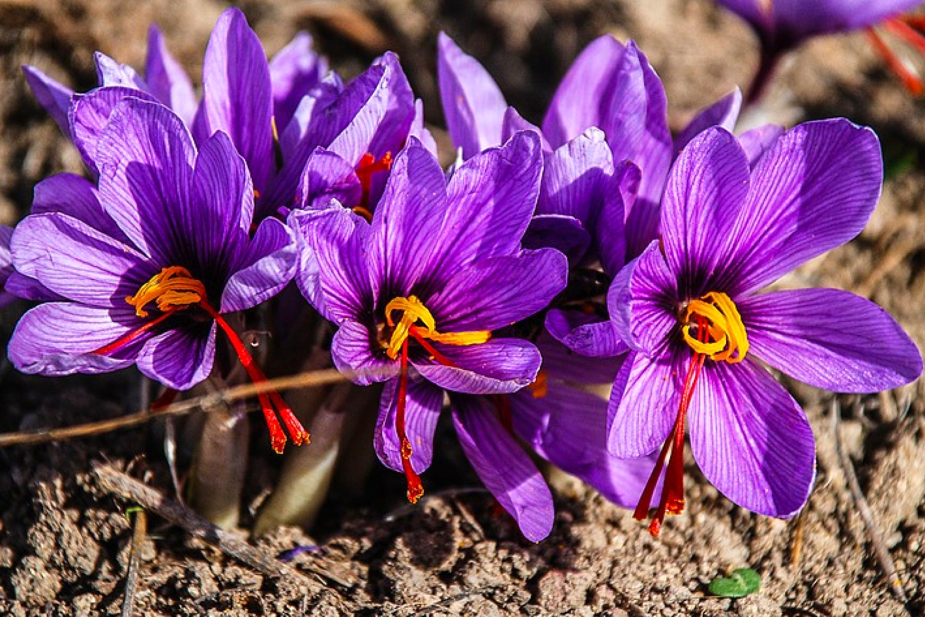 extraordinary benefits and uses of saffron