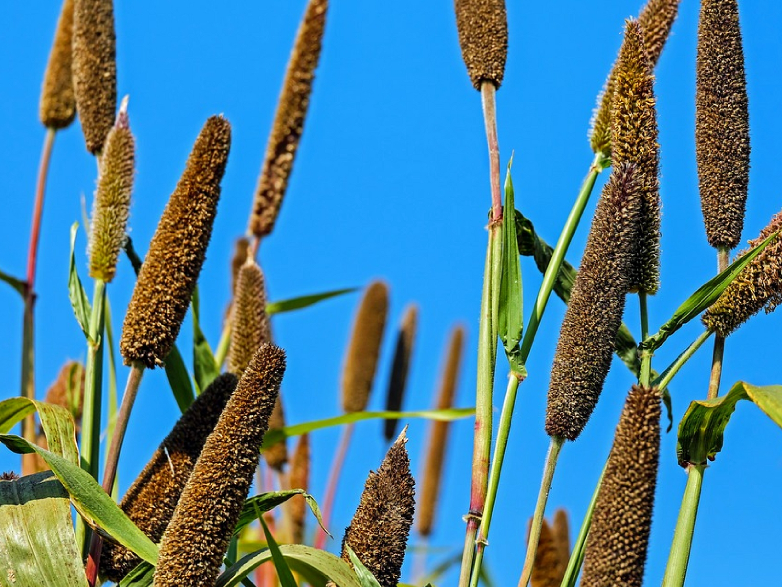 WHY MILLET IS AN ESSENTIAL GRAIN